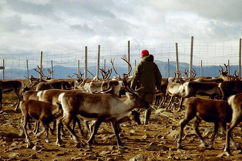 800px-reindeer_herding.jpg