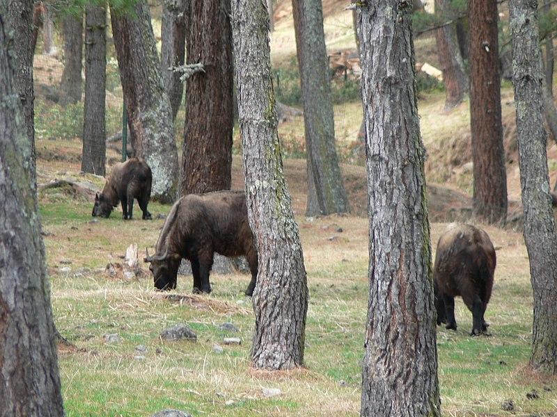 Takinok Timpu mellett: a párosujjú patások Bhután nemzeti állatai. (forrás: Wikipedia)