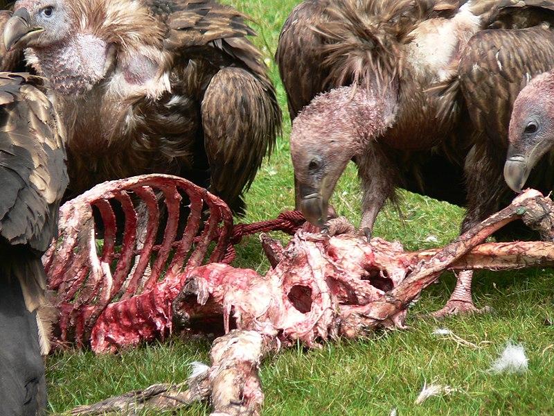 800px-vulture_sky_burial.jpg