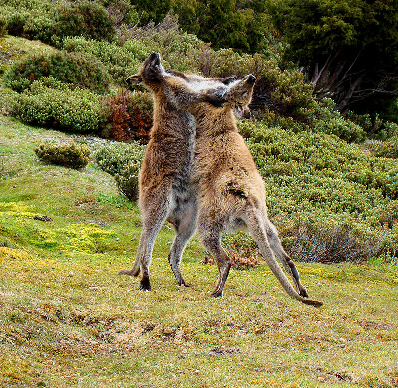 800px-wallaby-fighting-tasmania.jpg