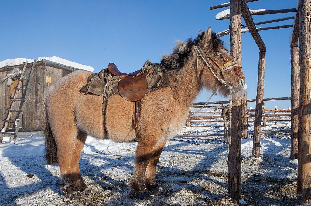 a_yakutian_horse_9762345674.jpg