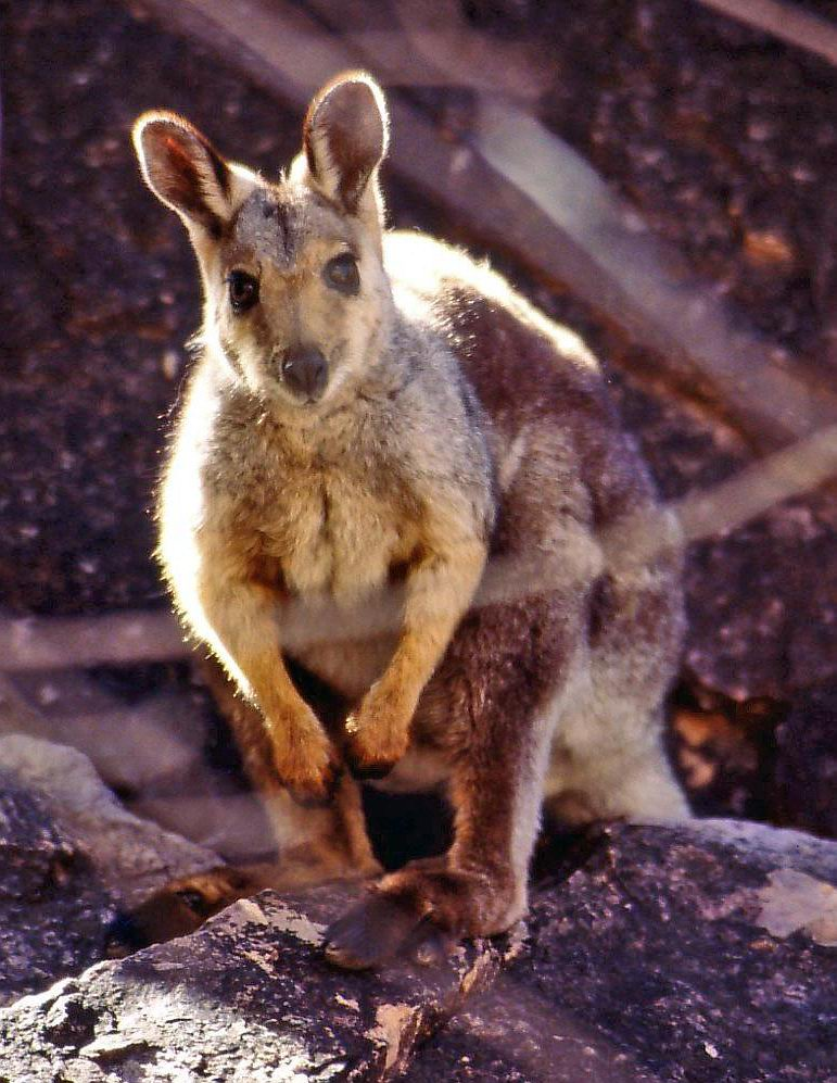 black-footed_rock-wallaby_small.jpg