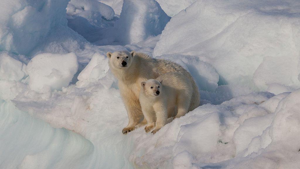 female_polar_bear_ursus_maritimus_with_cub_svalbard.jpg