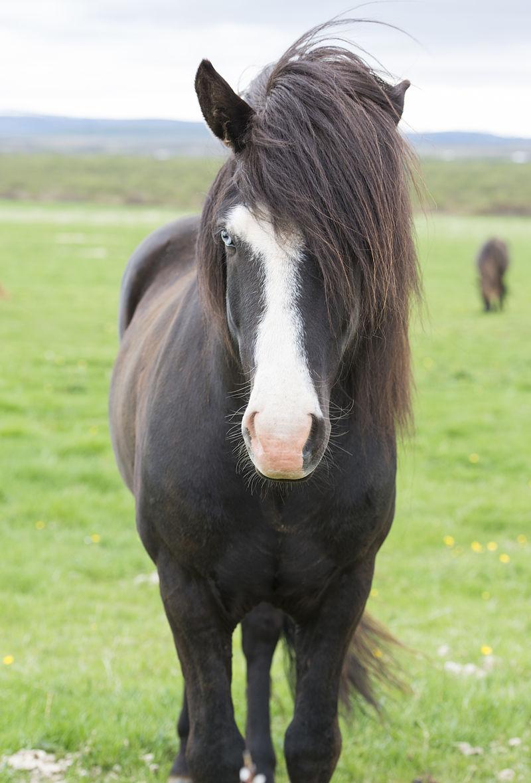 icelandic_horse_with_blue_eyes.jpg