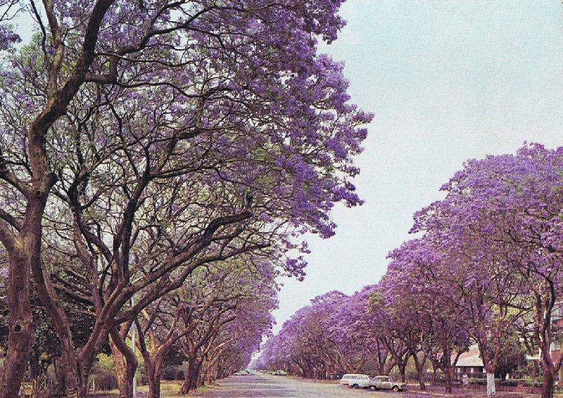 jacaranda_trees_in_montagu_ave_harare_zimbabwe_in_1975.jpg