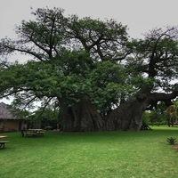Kocsma a világ legnagyobb baobab fájában