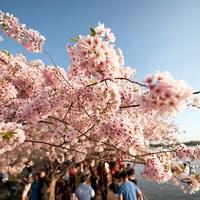 Sakura a virágzó hagyomány