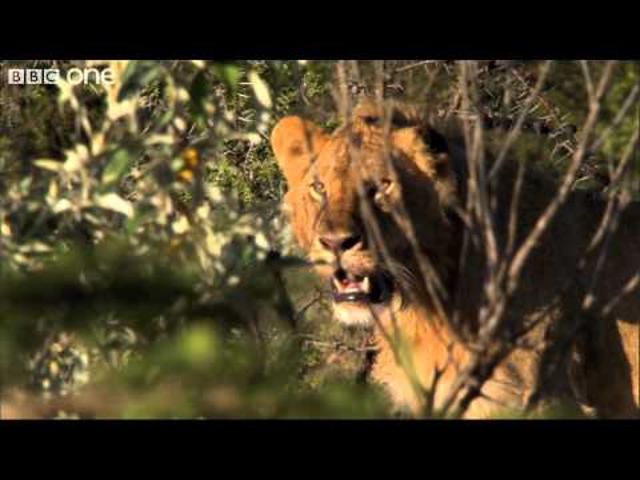 cougar Kenyában a feltámadás 5 randevúk