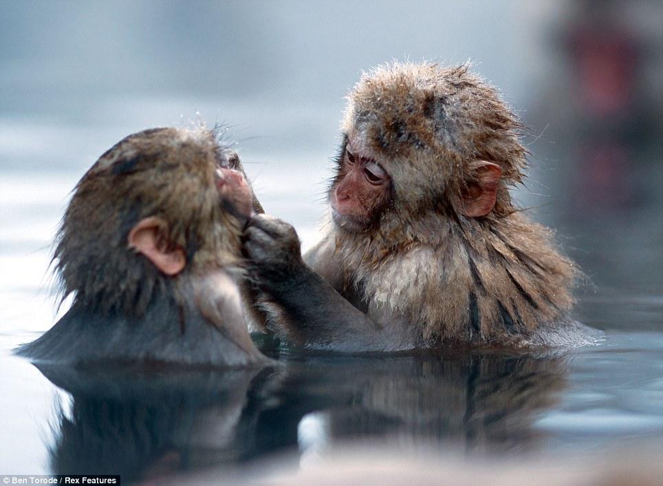 snow monkey_ben torode2.jpg