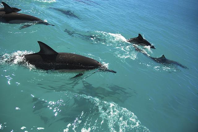 Delfinek Maria Island.jpg