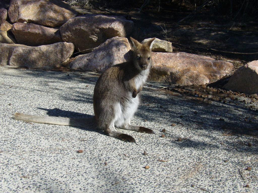 Tasmán kenguru.jpg