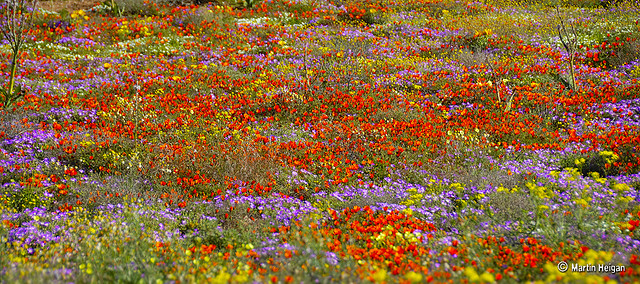 namaqualand daisy daisies 16.jpg