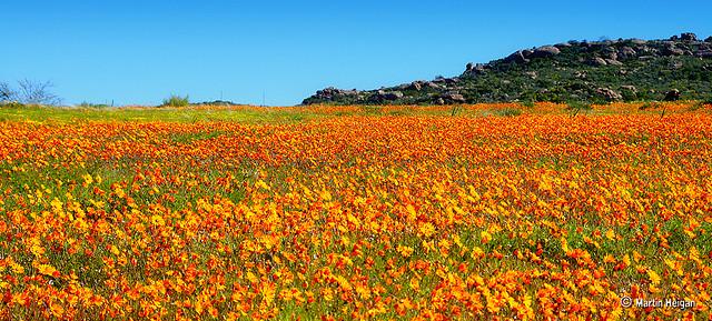 namaqualand daisy daisies 17.jpg
