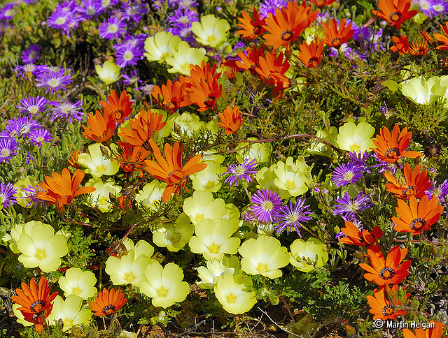 namaqualand daisy daisies 18.jpg