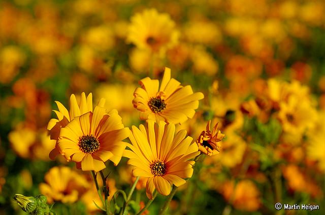 namaqualand daisy daisies 2.jpg