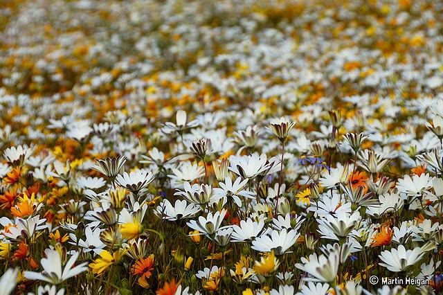 namaqualand daisy daisies 20.jpg