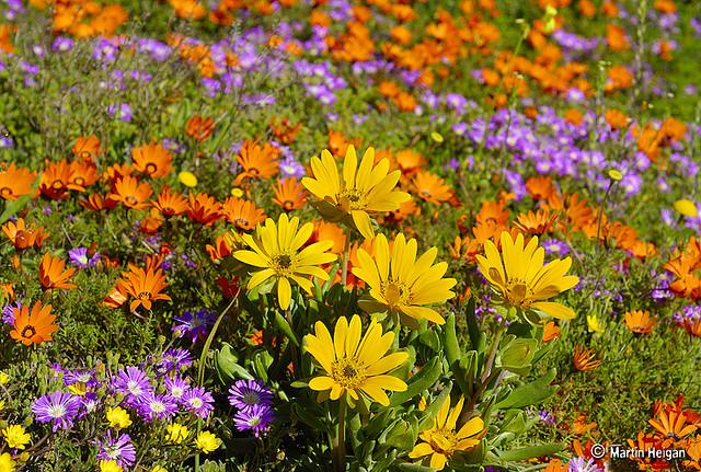 namaqualand daisy daisies 24.jpg