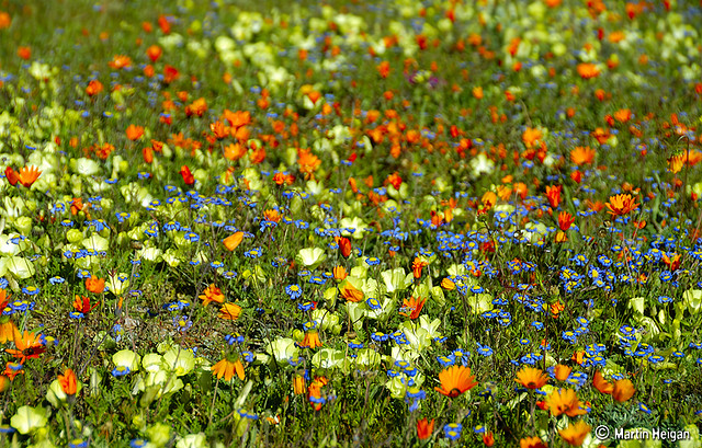 namaqualand daisy daisies 25.jpg