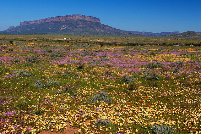 namaqualand daisy daisies 27.jpg