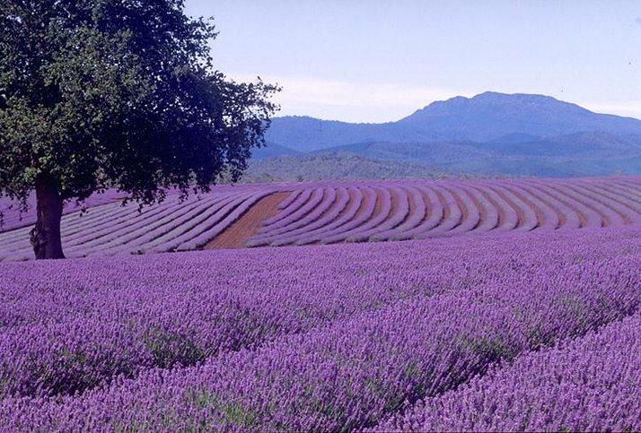 Bridestowe Lavender Farm Tasmánia.jpg