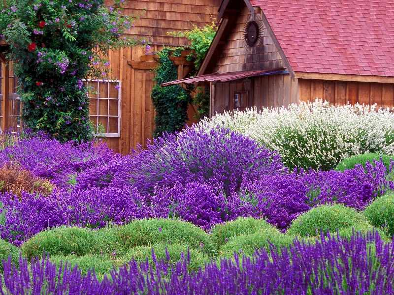 Lavender Farm Sequim.jpg