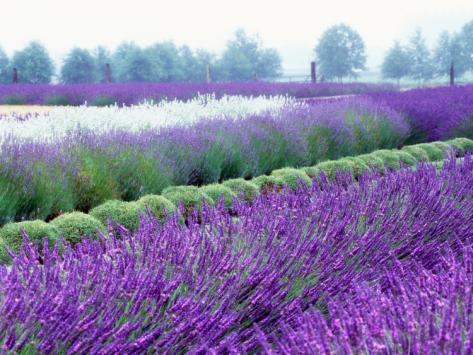 Sequim Washington USA Lavender Festival.jpg