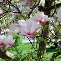 Ültess tavasszal virágzó liliomfát!