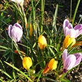 Krókuszok, tulipánok, nárciszok ültetése