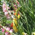 Kardvirág-Gladiolus