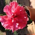 Kínai rózsa-Hibiscus rosa-siensis
