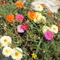Nagyvirágú porcsinrózsa-Portulaca grandiflora
