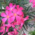 Leander-nerium oleander