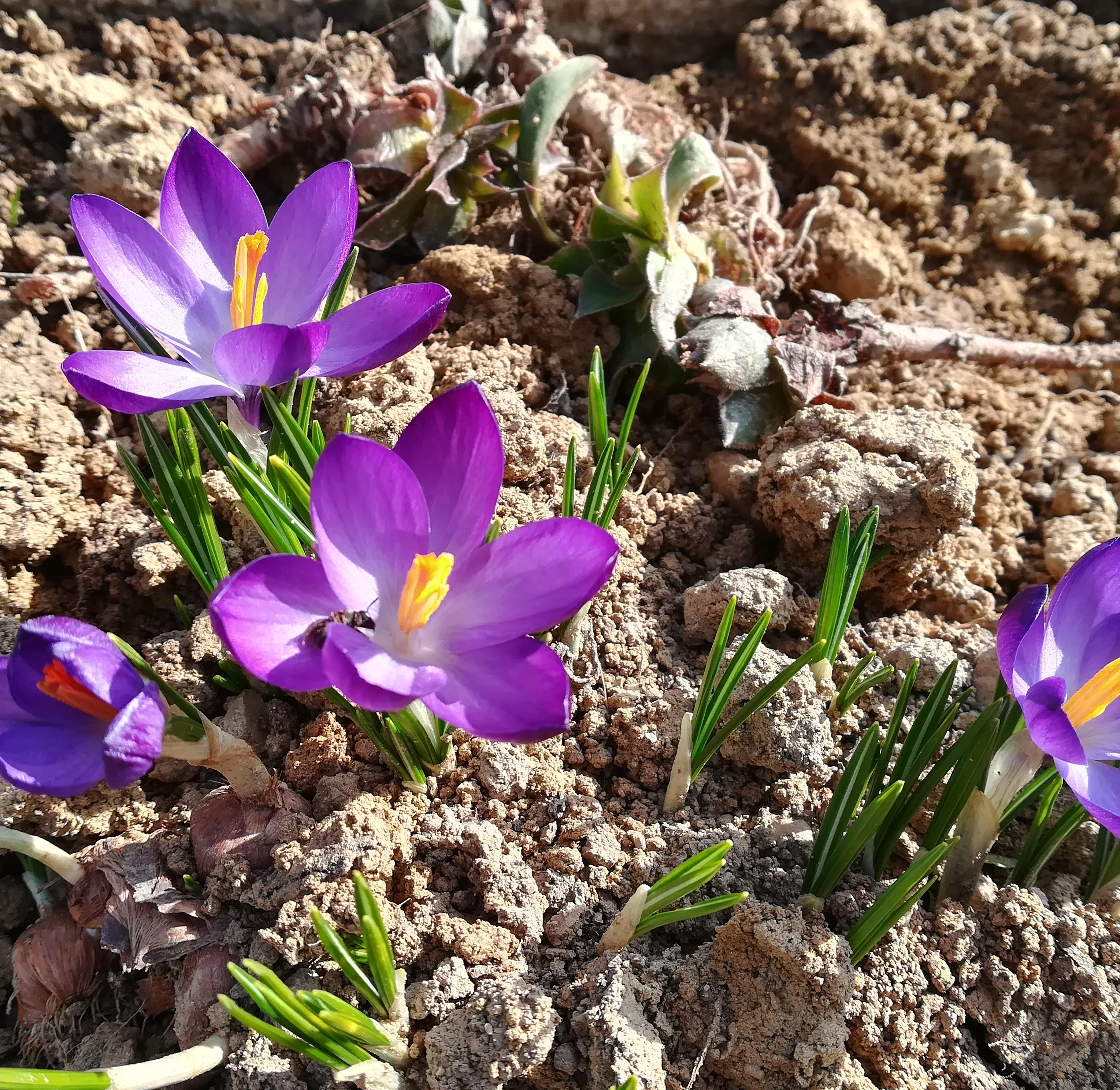 Idén korán nyílnak a virágok