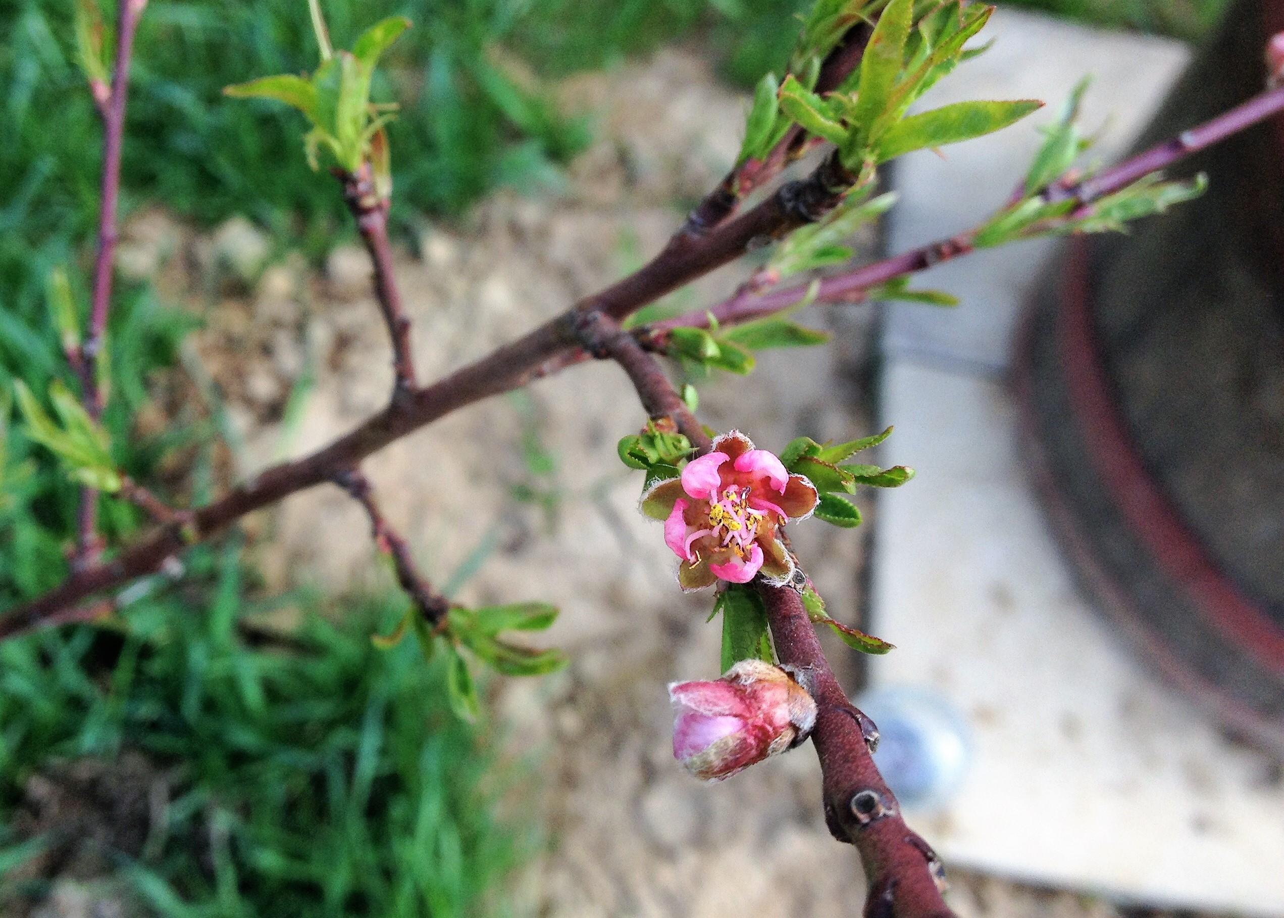 Tavaszi virágözön a kiskertekben