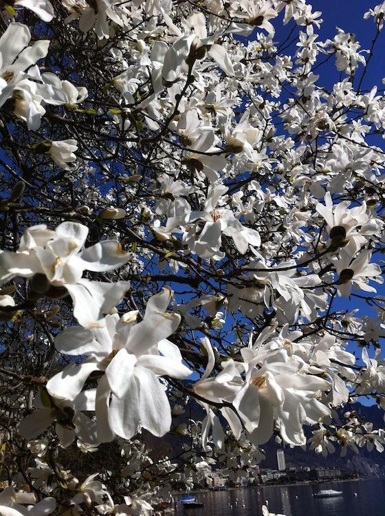 feher-magnolia-02.jpg