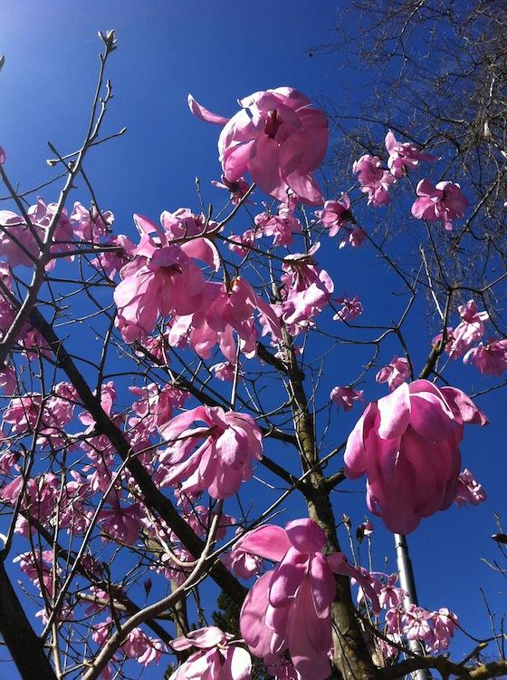 pink-magnolia-01.jpg