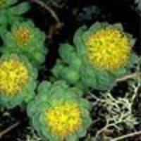 A százévesek gyökere - Rhodiola rosea