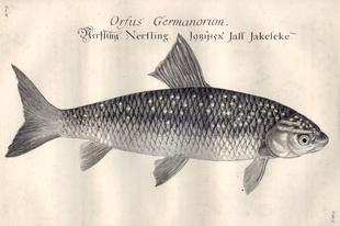 Az év hala – A jászkeszeg