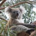 A Nagy Ausztrál Bevándorlás