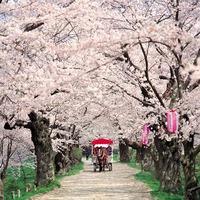 Cseresznyevirágzás, Japán