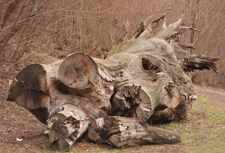 Rákóczi-fa: innen indul a tanösrvény