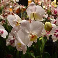 Orchideavásár a Heide Volmban