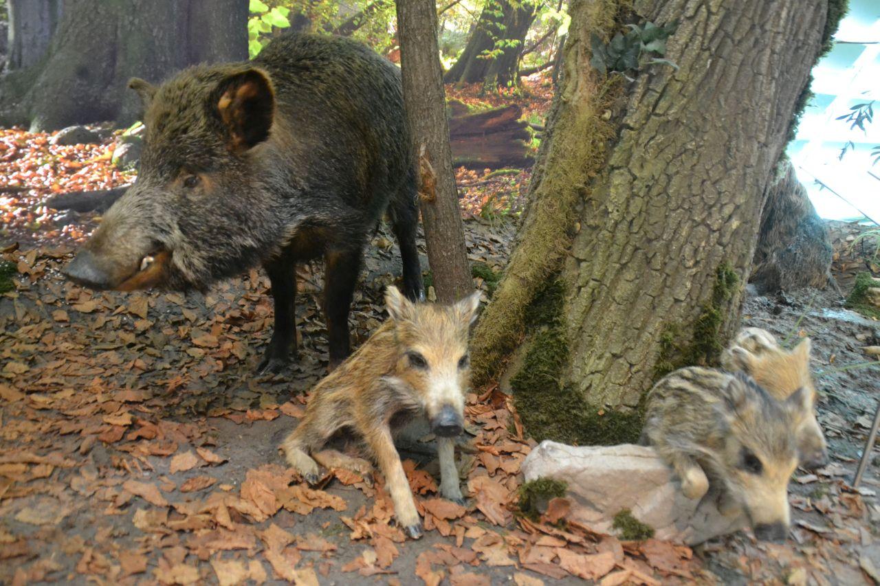 st. pölten, ausztria, természettudományi múzeum, vaddisznó, család