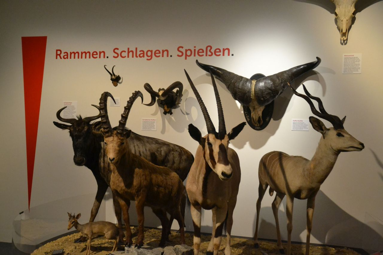 st. pölten, ausztria, természettudományi múzeum, szarvak