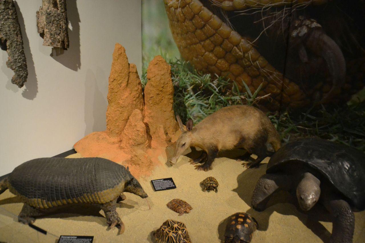 st. pölten, ausztria, természettudományi múzeum, földimalac, teknős