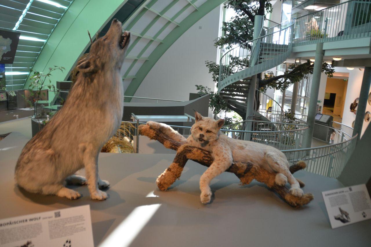 st. pölten, ausztria, természettudományi múzeum, farkas, hiúz