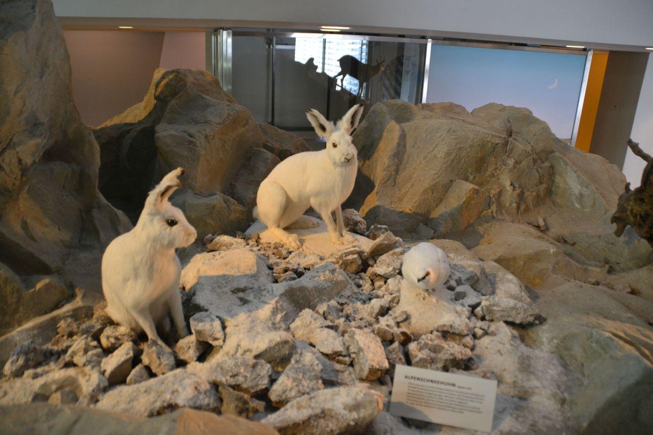 st. pölten, ausztria, természettudományi múzeum, nyúl