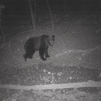 A Bükkben is járt barnamedve
