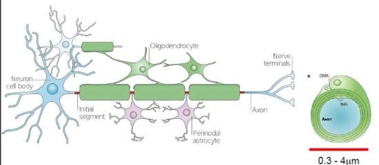 axon-mielin.jpg