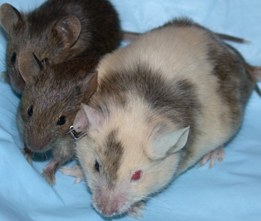 mouse-with-pups.jpg